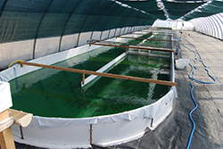 Vasca di coltivazione della Spirulina
